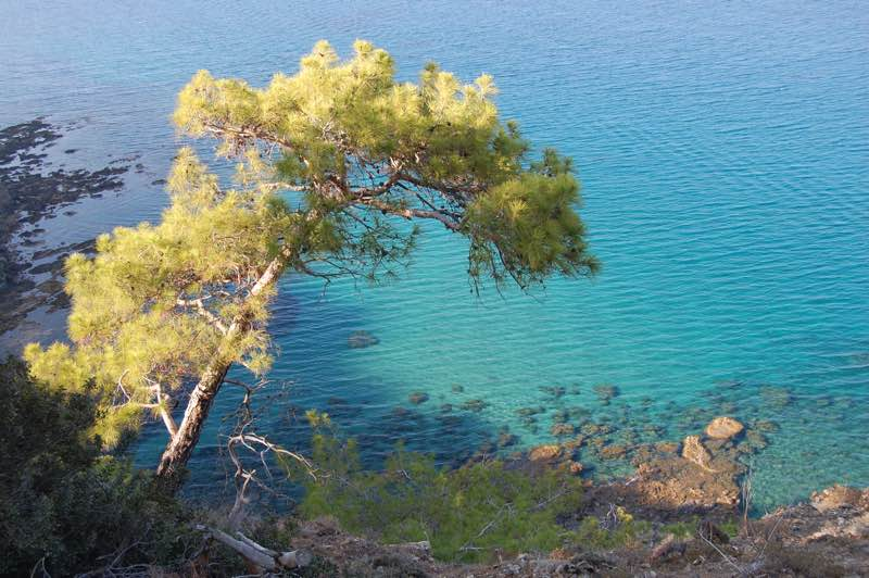 Pine tree with the crystal clear see at Akamas Peninsula National Park
